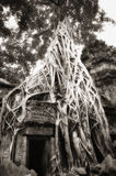 Parasite tree at Ta Prohm Stock Image