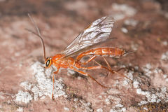 Parasite wasp Royalty Free Stock Image