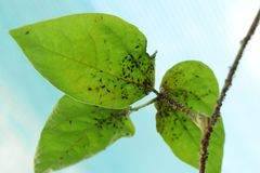 Parasites d'insecte Images libres de droits