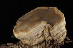 Parasites de champignons, boisés, sur un fond noir Images stock