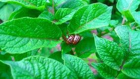 Parasites de scarabées sur des pommes de terre Images libres de droits