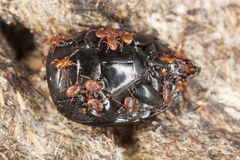 Parasites on dung beetle. Stock Photo