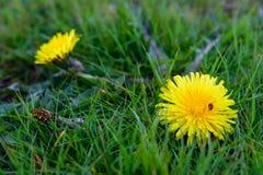 Parasites envahissants de pelouse Photographie stock libre de droits