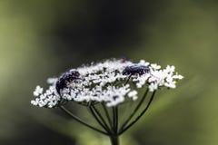 Parasites sur une fleur blanche Photographie stock libre de droits