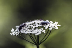 Parasites on a white flower. Parasites on a white small petals flower Royalty Free Stock Photography