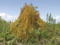 Parasitic Dodder Stock Photography