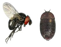 Parasitic fly royalty free stock images