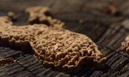 Parasitic mushroom on wooden tree stump royalty free stock image