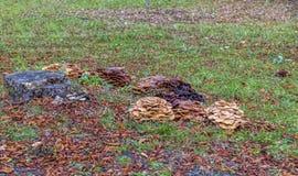 Parasitic Mushrooms Royalty Free Stock Photos