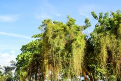 Parasitic plant grown fast and cover tree in abandon land royalty free stock photography