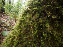 Parasitic plant on tree trunk in mountain Royalty Free Stock Photography