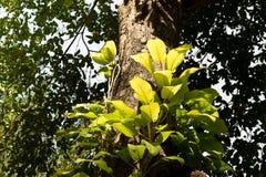 Parasitic plants Royalty Free Stock Photo