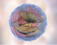 Parasitic protozoans Toxoplasma gondii in bradyzoites stage inside cyst Stock Photos