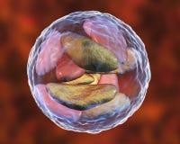 Parasitic protozoans Toxoplasma gondii in bradyzoites stage inside cyst Stock Photography