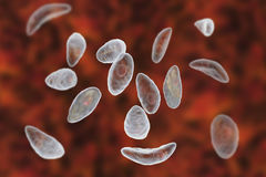 Parasitic protozoans Toxoplasma gondii in tachyzoite stage Stock Images