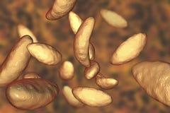 Parasitic protozoans Toxoplasma gondii Royalty Free Stock Photography
