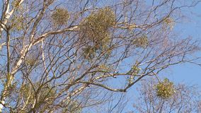 Parasitic round plants grow on birch tree branches. Static closeup stock video footage
