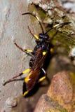 Parasitic wasp Arkivbilder