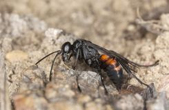 Parasitic wasp (Anoplius viaticus) Royalty Free Stock Photography