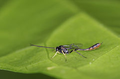 Parasitic Wasp Stock Photos