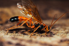 Parasitica stock images