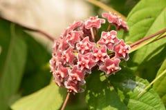 Parasitica Roxb Hoya Hoya Стена бывший Цветки Уайта Стоковое Изображение RF