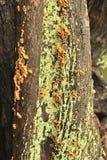Parasitische boompaddestoelen (crispa Plicatura) Royalty-vrije Stock Afbeeldingen