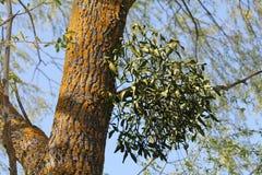 Parasitisk växt för europeiskt mistelViscumalbum som växer på träd arkivfoto
