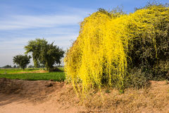 Parasitiskt darra på ett träd Royaltyfri Bild