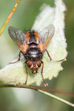 Parasitoid fera van vliegtachina Royalty-vrije Stock Foto's
