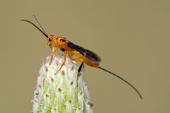 Parasitoid wasp. Isolated on a plant Royalty Free Stock Photo