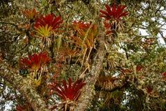 Parasitväxtbromelia som växer på trädet, Sydamerika Fotografering för Bildbyråer