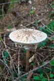 parasol μανιταριών macrolepiota procera Στοκ Φωτογραφίες