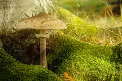 Parasol fungus and moss in the shade Stock Photo
