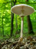 Parasol Fungus Stock Photos
