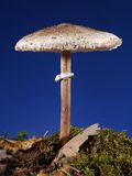 Parasol Fungus Royalty Free Stock Images
