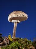 Parasol Fungus Stock Photos