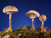 Parasol Fungus Stock Photo