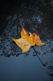 Parasol liść Obraz Royalty Free