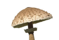 Parasol mushroom 04 Royalty Free Stock Photo