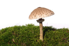Parasol mushroom Royalty Free Stock Photography