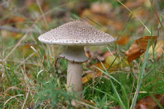 Parasol Mushroom. In dutch forest Stock Photo