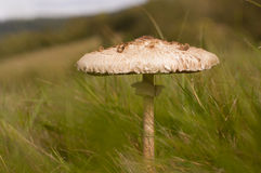 Parasol mushroom Royalty Free Stock Images
