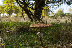 Parasol Mushroom in autumn Stock Photography