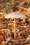 Parasol mushroom in forest Stock Image
