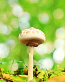 Parasol mushroom Stock Image