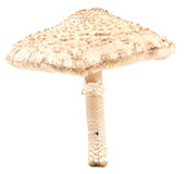 Parasol mushroom isolated Stock Image