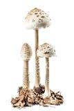 Parasol mushroom stock photography