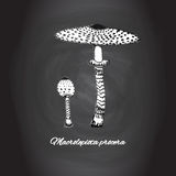 Parasol mushroom, Italian cooking ingredients, nature theme hand drawn sketch on chalk board background Royalty Free Stock Photos