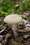 Macrolepiota procera or Lepiota procera in the forest. Parasol mushroom known as Macrolepiota procera or Lepiota procera is a basidiomycete fungus with a large Royalty Free Stock Photos